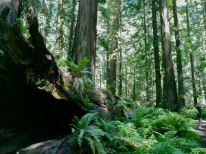 avenue of the giants california usa vegetation @ journeylism.nl