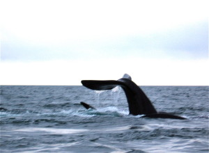 on the ruta chile argentina peninsula valdes southern right whale @ journeylism.n